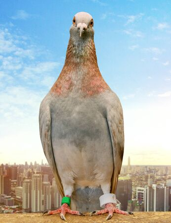 mealy feather homing pigeon wearing gps tracking standin against city skyscraper