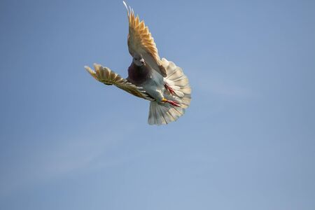 mealy feather homing pigeon flying against clear blue sky