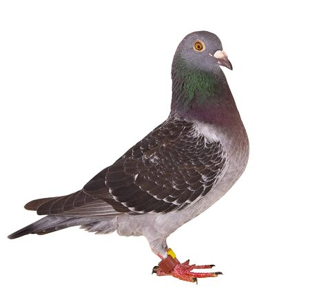 full body of black feather homing pigeon bird isolated white background Zdjęcie Seryjne