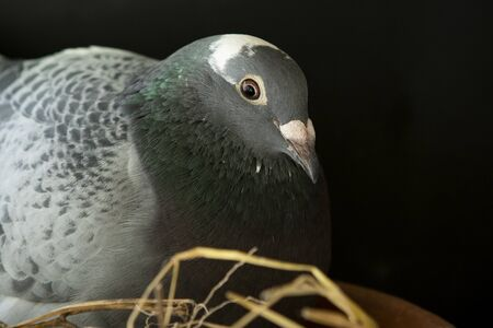 homing pigeon nisting in home loft