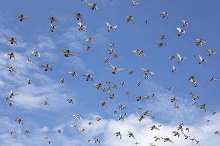 flock of speed racing pigeon flying against beautiful clear blue sky