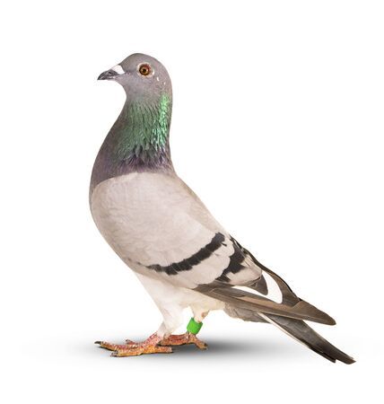 speed racing pigeon bird isolate white background Zdjęcie Seryjne