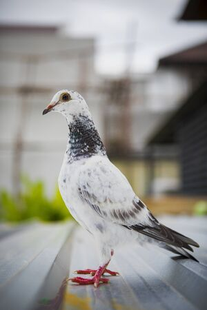 shallow depth of field of homing speed racing pigeon standing on home loft roof Stok Fotoğraf