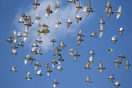 flock of speed racing pigeon bird flying against clear blue sky Zdjęcie Seryjne