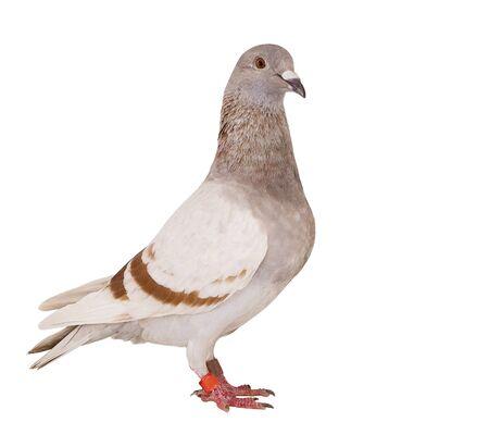 mehlige Feder der Brieftaube Vogel isoliert auf weißem Hintergrund