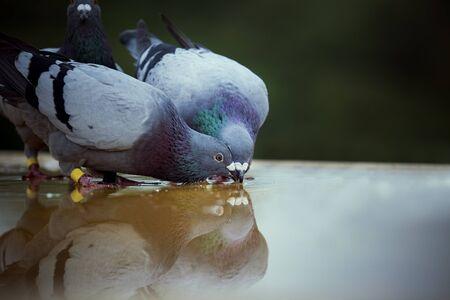 due piccioni viaggiatori che bevono acqua sul pavimento del tetto