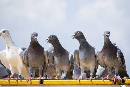 Brieftaubenvogel, der auf dem Dachboden des Hauses hockt
