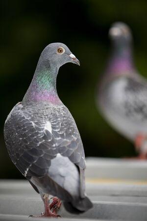 domestic pigeon bird standing on home loft roof Stock fotó