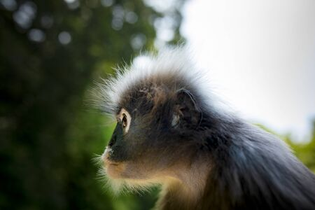 close up head of wilderness dusky leaf monkey against green blur background