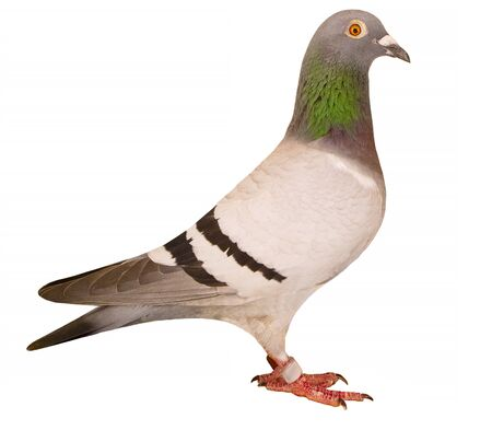 side view full body of speed racing pigeon isolated white background