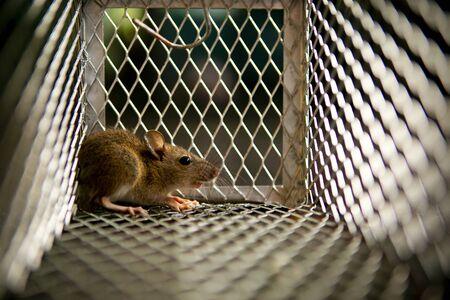 pequeña rata atrapada en la jaula de la trampa para ratones