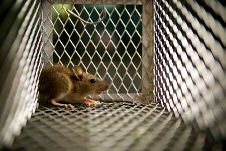 piccolo topo intrappolato nella gabbia della trappola per topi