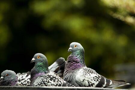 flock of pigeon bathing in green park