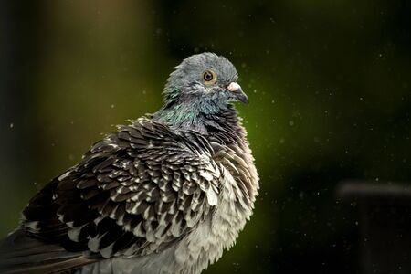 close up feather of homing pigeon bathing in green park Stock fotó
