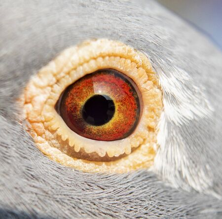 close up detail in eyes of homing pigeon bird Stok Fotoğraf