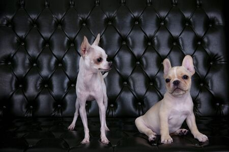 chihuahua(chiwawa) and french bulldog in studio lighting