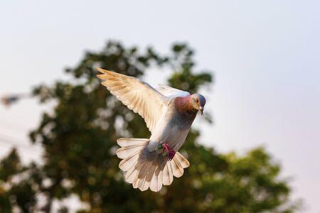 homing pigeon bird flying mid air