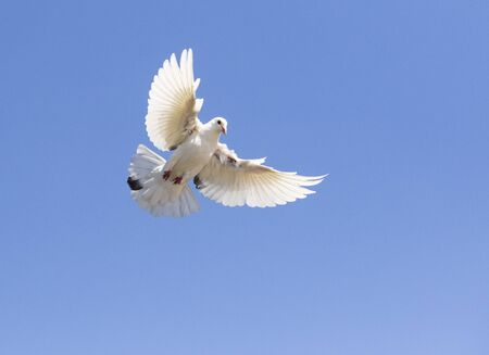 white feather pigeon flying against clear blue sky