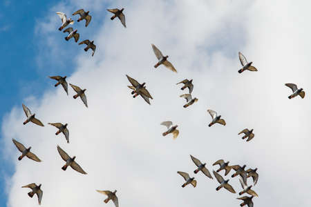 flock of homing pigeon flying against cloudy sky