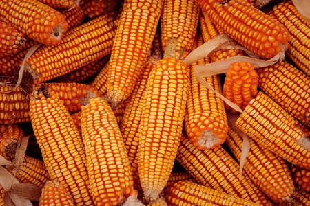 corn stock  for produce livestock ingredient 版權商用圖片