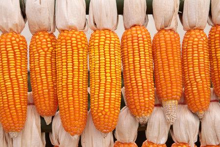 stack of raw corn decorated in thailand rural farm 版權商用圖片