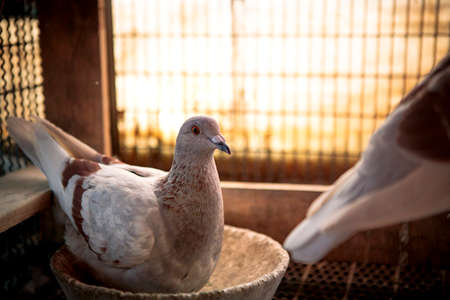 homing pigeon hatching egg in home loft 版權商用圖片