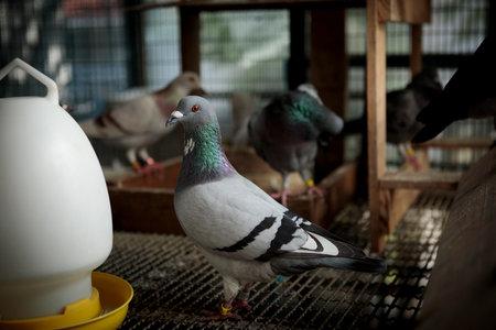 male homing pigeon in home loft 版權商用圖片