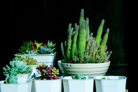close up succulent in white pot against black background 版權商用圖片