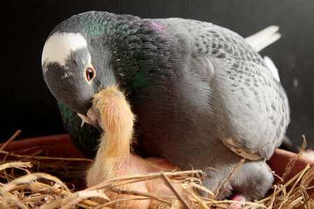 homing pigeon feeding crop milk to new born in nest