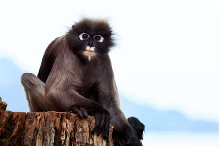 dusky leaf monkey sitting on dry stump against clear sky 版權商用圖片