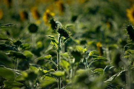 beautiful green sunflower in plantation field