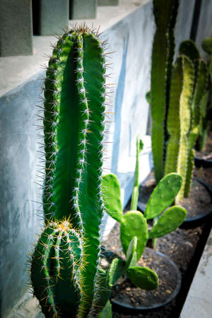beautiful cactus planting outside of home