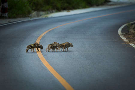 group of little wild boar on asphalt road at khao yai national park thailand Stock fotó