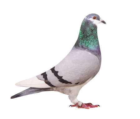 full body of blue white flight homing pigeon isolate white
