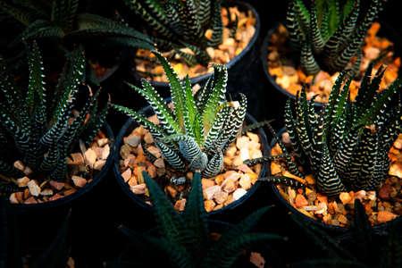 group of zebra plant in planting pot