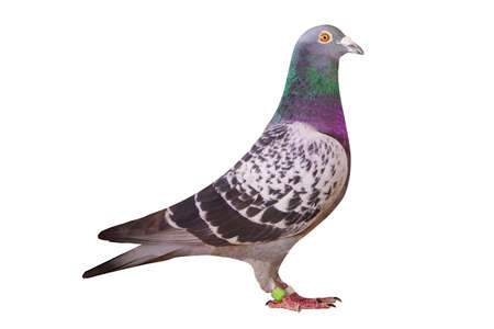 full body of speed racing pigeon bird isolate white background