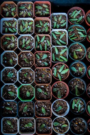 group of bare root succulent prepare for repot Stock fotó