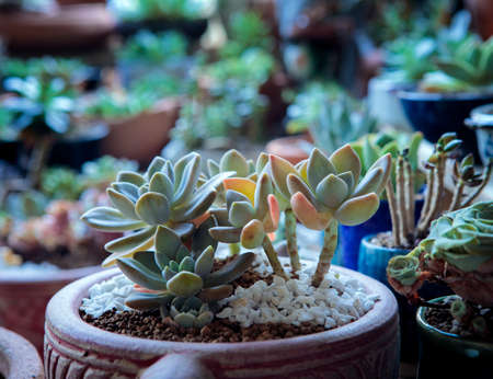 group of bare root succulent prepare for repot Stock fotó