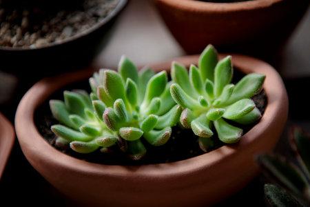 close up beautiful succulent in planting pot