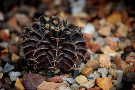 close up dark color of hybrid gymnocalycium cactus on ground