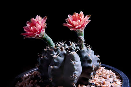 gymnocalycium cactus flowers blooming against dark background