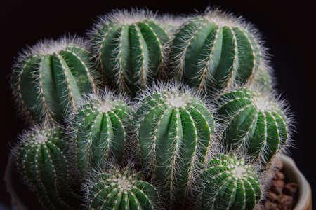 close up notocactus magnificus with beautiful lighting