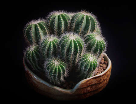 close up notocactus magnificus with beautiful lighting