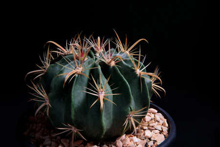 close up Ferocactus wislizenii,fishhook cactus against dark background