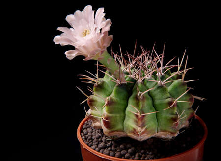 pink flower of gymnocalycium cactus in planting pot Stock fotó