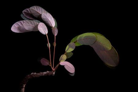 sleeping leaves  Phyllanthus mirabilis studio shot