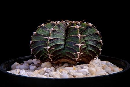 close up gymnocalycium lb2178 hybrid in planting pot
