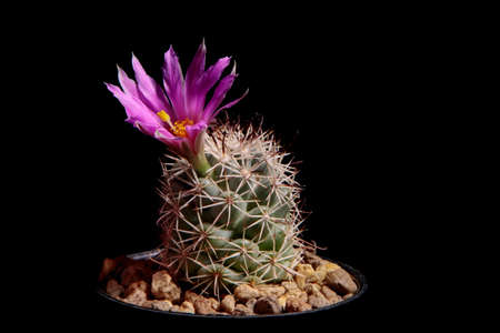 pink flower of mammillaria cactus blooming against dark background
