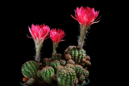 red flower of lobivia cactus blooming against dark background