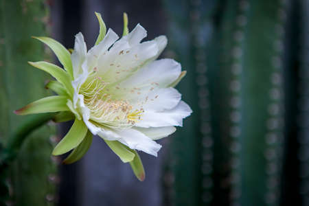 close up cereus cactus flower blooming in garden